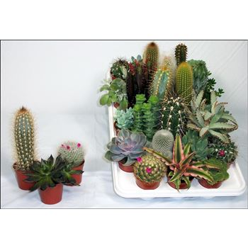 "2.5"" Cactus & Succulent Assorted        (Case 28)"