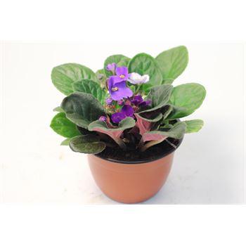 "6"" African  Violet  3 Plants per Pot         (Pack 8)"