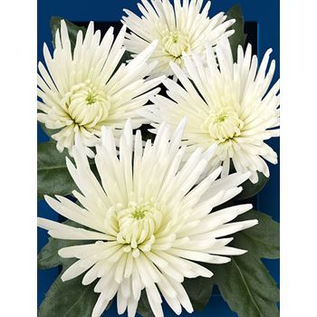 Poms (Cutmums) Local White Spider