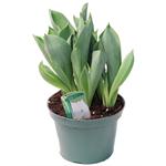 """6"""" Tulip            (Case 8)"""