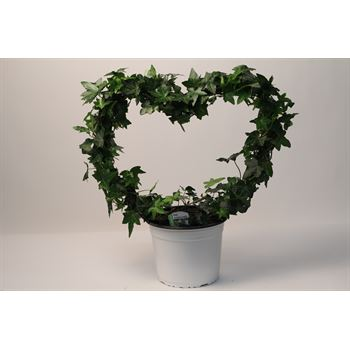 "7"" Ivy Heart         (Case 6)"