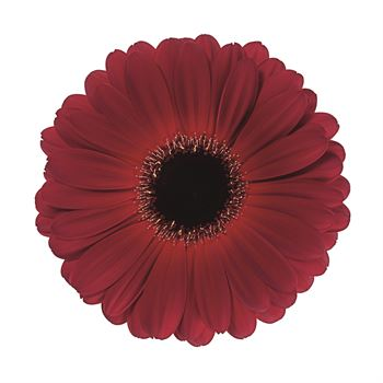 Gerbera Select Dark Diamond