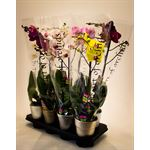 """Additional Images for 5"""" Phal. Orchid  1 Spike in Ceramic Pot  (Cs 8)"""