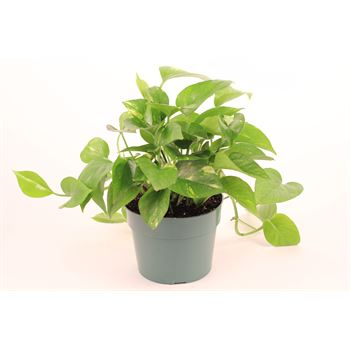 "6"" Pothos Golden     (Case 8)"