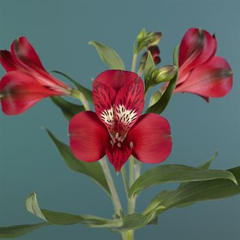 Alstroemeria Select Red