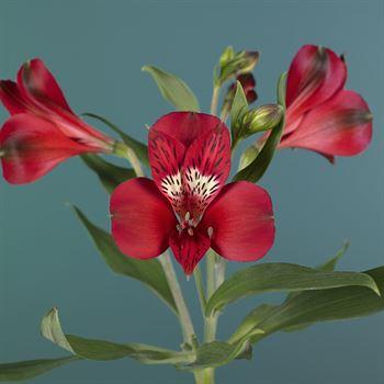 Alstroemeria Select Red
