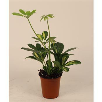 "3.5"" Schefflera Mini Arboricola        (Case 18)"