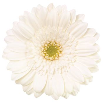 Gerbera Select White