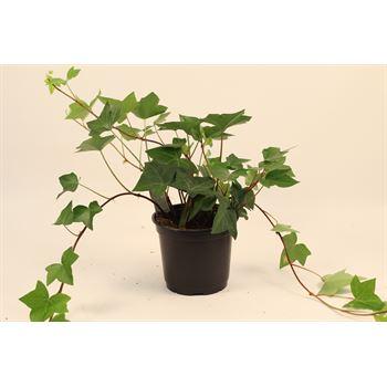 "6"" Ivy Spanish Canary  (Case 9)"