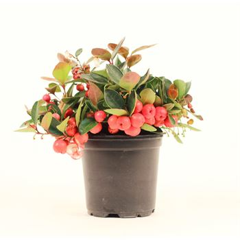 """4"""" Gaultheria  """"phyto""""  (Case 18)"""