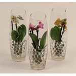 """Additional Images for 2.5"""" Phalaenopsis Orchids in Glass w/ Pearls Giftbag      (Case 12)"""