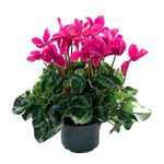 """Additional Images for 8"""" Cyclamen (Case 6)"""