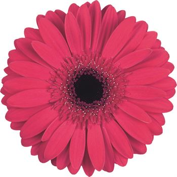 Gerbera Select Intense