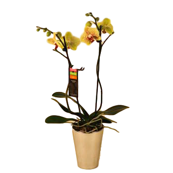 """5"""" Phal Orchid 2 Spike in Ceramic Pot (Case 8)"""
