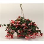 """Additional Images for 10"""" HB Fuschia     (Cased - 2)"""