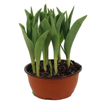 """7"""" Tulip           (Case 6)"""