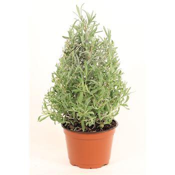 "6"" Lavender Christmas Tree                     (Case 8)"