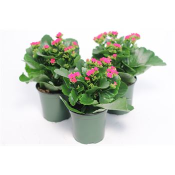 "4.5"" Kalanchoe Purple (Case 15)"