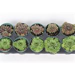 """Additional Images for 4"""" Hens and Chicks    (Pack 20)"""