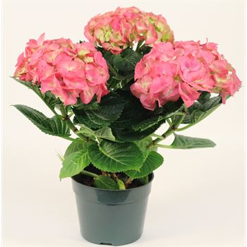 "6"" Hydrangea 3 Bloom       (Case 6)"