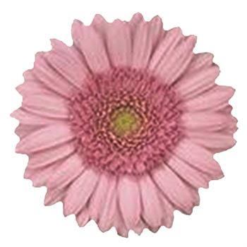 Gerbera Mini Kimsey