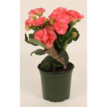 """4.5"""" Begonia Pink (Case 15)"""