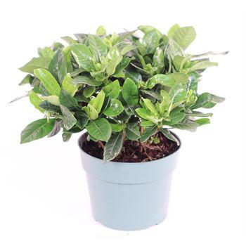 """6"""" Gardenia  (Pack 8)"""