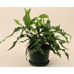 """Additional Images for 6"""" Fern Kangaroo Paw Standard (case 8)"""