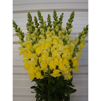 Snapdragons Medium Yellow