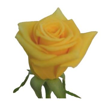 Sweetheart Rose Yellow