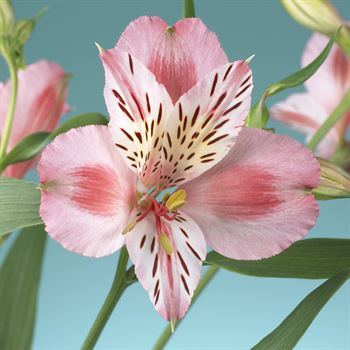 Alstroemeria Select Pink