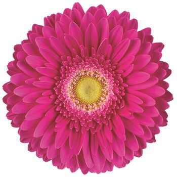 Gerbera Select Hot Pink