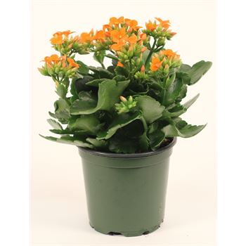 "4.5"" Kalanchoe Assorted (Case 15)"