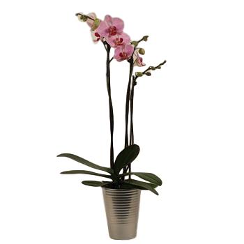 "2.5"" Phalaenopsis Orchids in Ceramic in Display       (Case 18)"