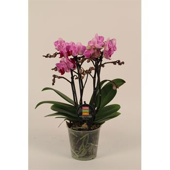 """5"""" Phal. Orchid Maxiflora Multi Spike (case 10)"""