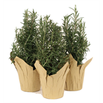 """Additional Images for 4"""" Rosemary Tree (Case 18)"""