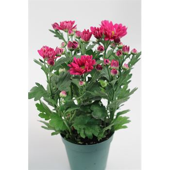 """4.5"""" Mums Assorted (Case 15)"""