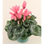 "Additional Images for 6"" Cyclamen Pink (Case 8)"