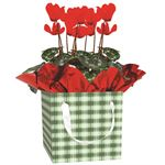 Additional Images for Indoor Garden Holiday Assorted Giftbox (Mum/Cyc/Gerb)   (Case 15)