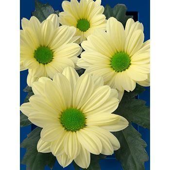 Poms (Cutmums) Cream Daisy