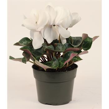 "6"" Cyclamen White (Case 8)"