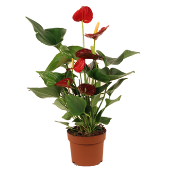 "5"" Anthurium (Case 10)"