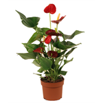 "Additional Images for 5"" Anthurium (Case 10)"