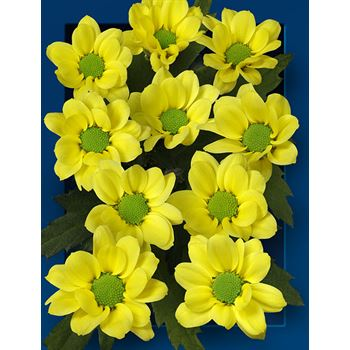 Poms (Cutmums) Local Yellow Micro
