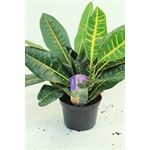 "Additional Images for 6"" Croton Assorted"