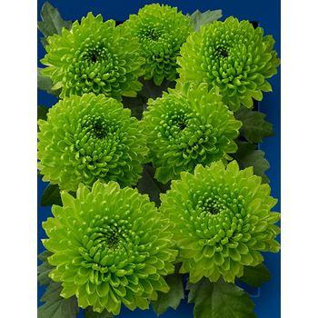 Poms (Cutmums) Local Green Button