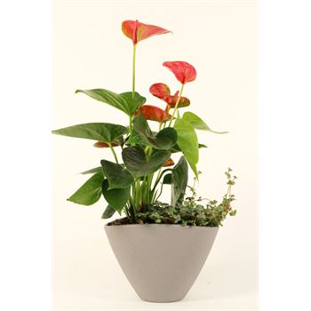 "7"" Anthurium Garden  (Case 8)"