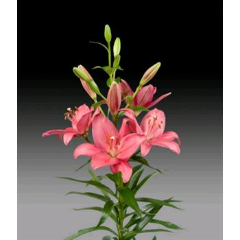 Lily 2-3 Bloom Hot Pink