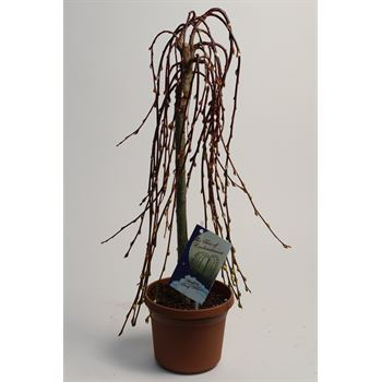 """6"""" Pussy Willow """"phyto""""   (case 8)"""
