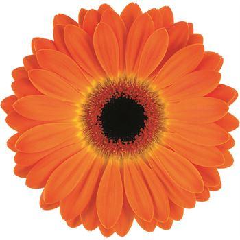 Gerbera Select Orange